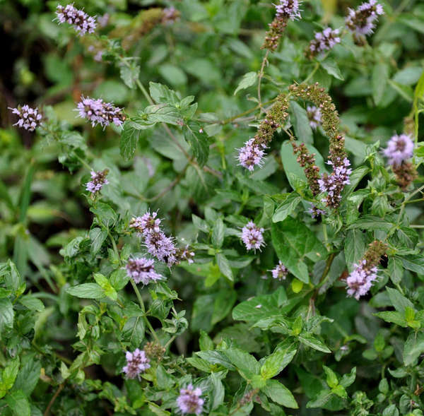 Dense but leggy growth of peppermint stems, topped by clusters of small lavender flowers
