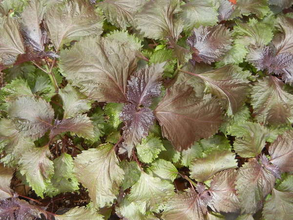 Coleus-like plant with broad, opposite, serrated leaves, reddish-purple through copper tones to light green in color