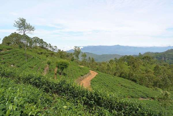 Tea estates on a bright hillside, a dirt road winding through them, two distant mountain ridges in the background