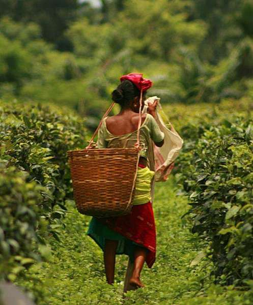 Woman walking through a path in a tea plantation with a basket on her back and carrying things