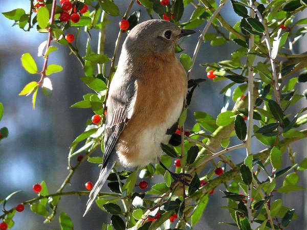 Bluebird, with gray-blue back and reddish breast, perched in branches with small, dark green leaves and bright red berries