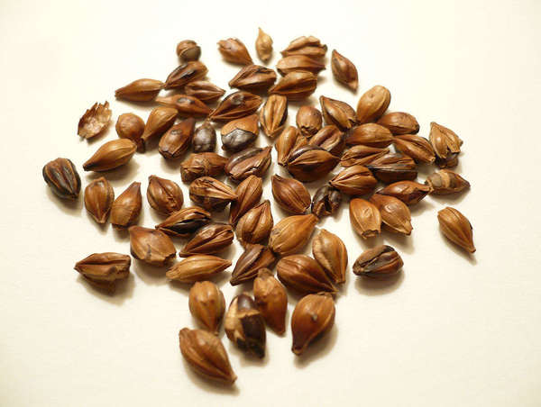 Large, brown, whole roasted barley kernels on a cream-colored background