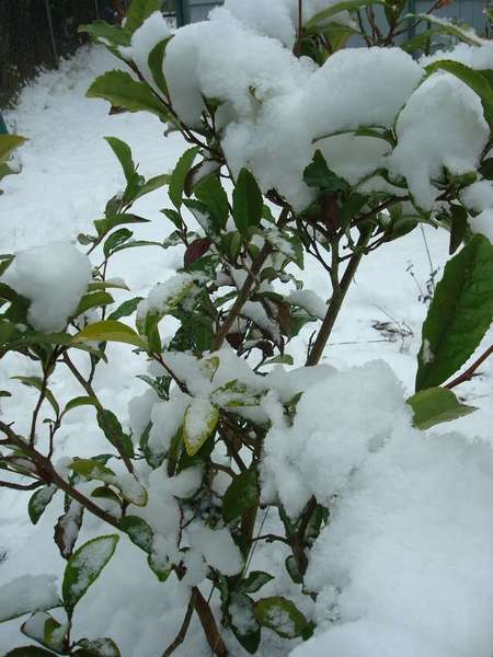 Tea plant, broadleaf evergreen with serrated leaves, covered in dense, wet snow