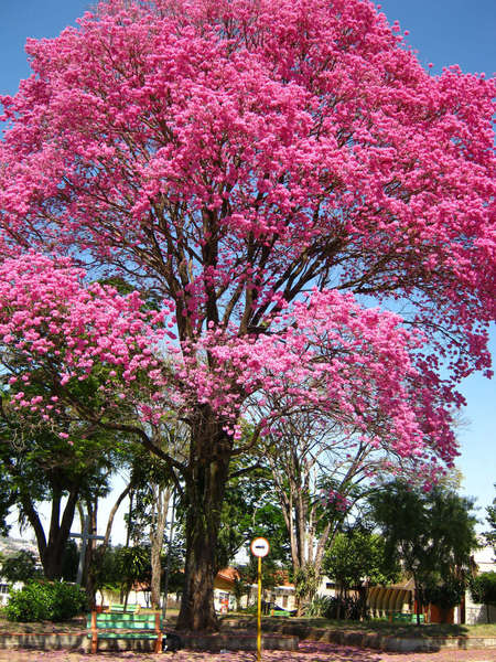 Tree covered in bright pink blossoms with lower, green trees in background, along a sidewalk