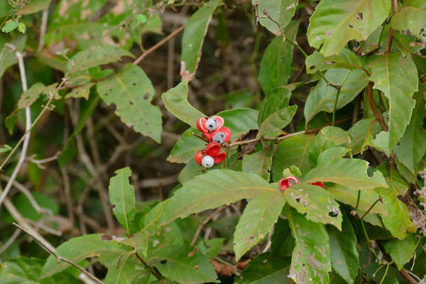 Guarana plant showing some insect damage to leaf, a red fruit center, open showing unusual white center with black seeds