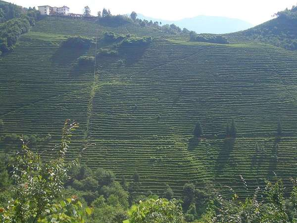 Distant view looking towards an upward-sloping hill entirely covered in rows of tea plants, with only a few scattered trees