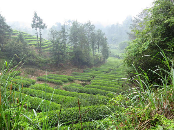 Round-topped rows of tea plants in a lush, green landscape with a slight fog