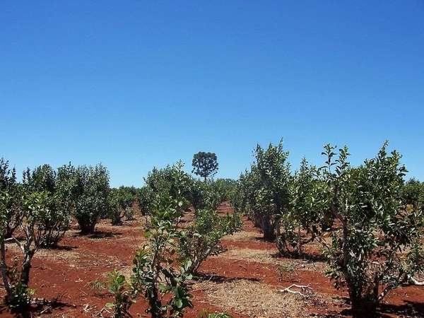 Sickly-looking shrubs under a clear blue sky, in exposed reddish soil