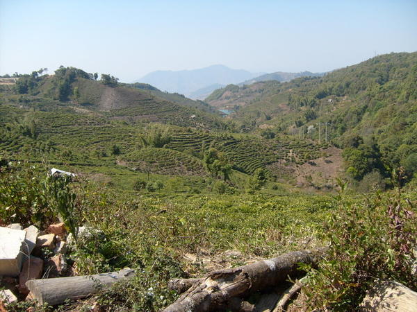 Mountain scenery, rows of tea plantations lining a nearby hillside, recently cut wood in foreground