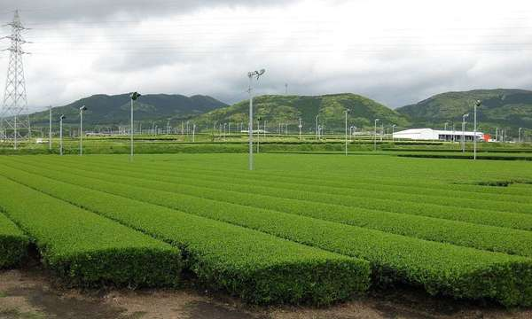 Neat rows of tea plants, lights and power line towers dotting the landscape, with lush green hills rising up in the distance against a sky full of dense, billowy clouds