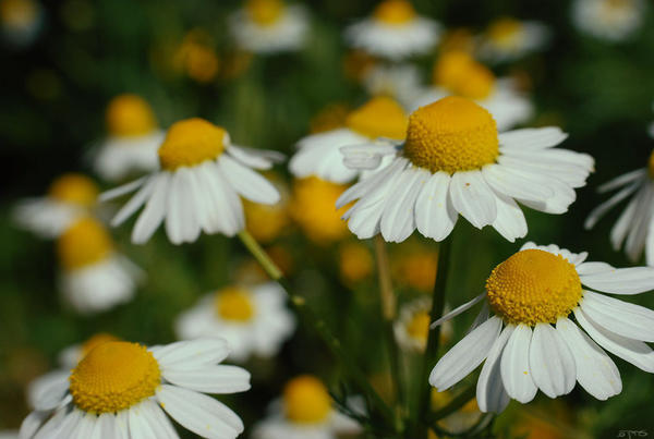Blooming chamomile flowers with bright yellow centers and white petals, daisy-like