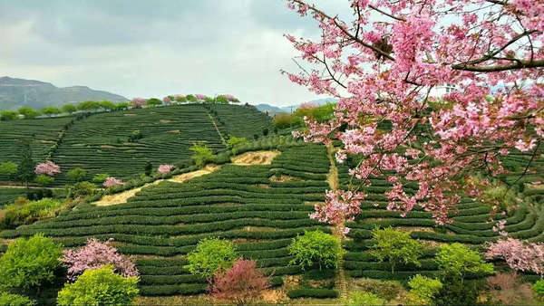 Pink cherry blossoms and yellow-green trees dotting a landscape of rows of tea plantations on a hillside