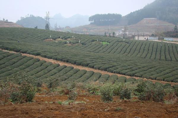 Neat, regular rows of tea growing in a massive expanse, a powerline tower in background