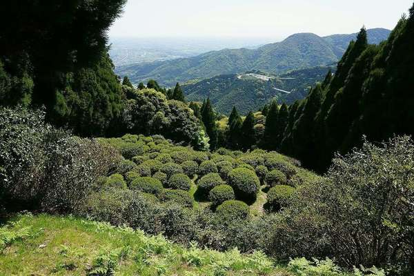View looking down into a valley, tea bushes pruned into round shapes, dense, conical evergreen trees rising up on both sides
