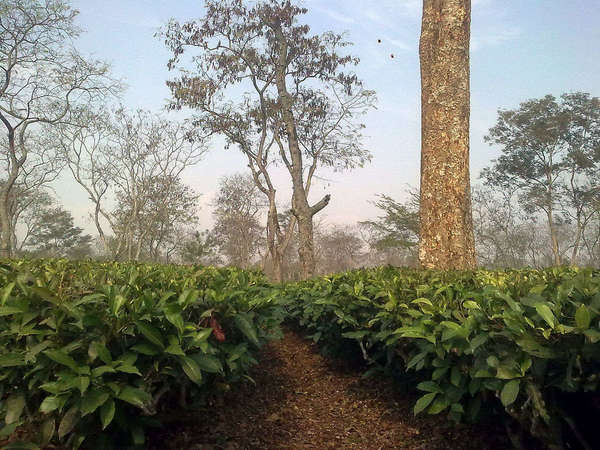 Low-down view of tea bushes with enormous leaves, numerous gnarly trees with barren branches rising in the distance