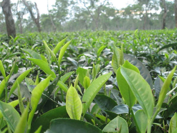 Closeup of new tea leaves and shoots in a vast, flat field of tea, some trees in background