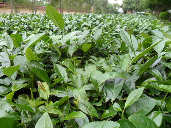 Dark green tea plants in a field showing mostly mature leaves, with nearly all new shoots cleanly cut off
