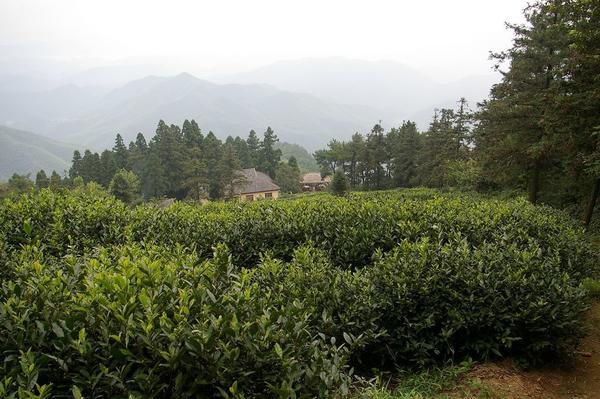 Tea plantation in lush, dark green, misty setting, with numerous evergreen trees in distance