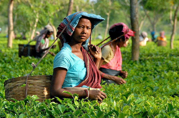 Women picking tea in a flat field of tea, with colorful teal and pink outfits, baskets on backs