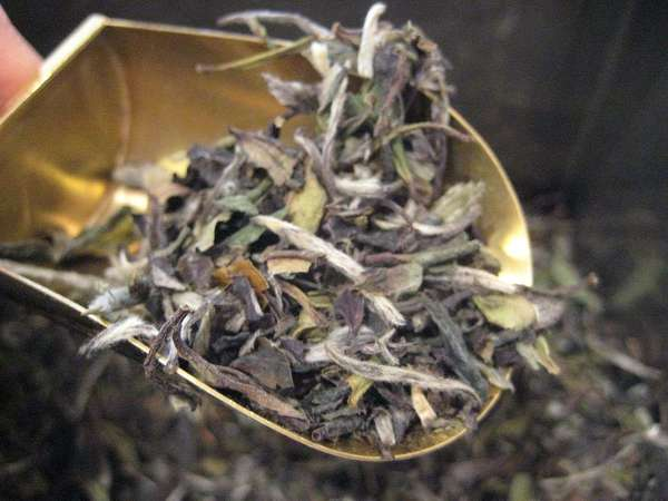 Loose-leaf tea in a brass-colored scoop, with mix of silvery tips and pale green to olive-brown leaves