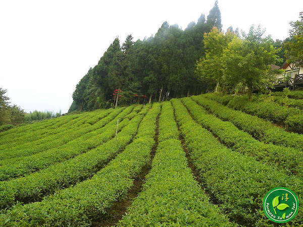 Looking head-on into rows of tea plants sloping up towards a dense stand of evergreen trees with a conical shape