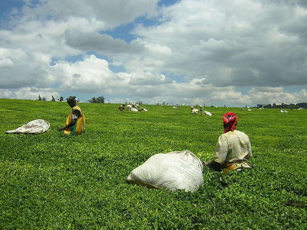 Women with massive bags of tea, in a tea field under a wide, mostly-cloudy sky