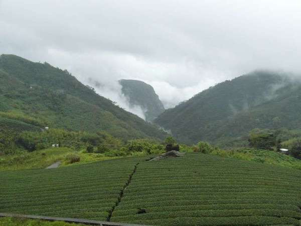 Neat rows of tea plants in the foreground with forested hillsides behind, clouds and mist flowing over them