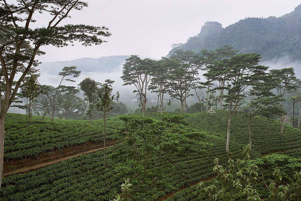 Orderly rows of tea with scattered tall trees in front of dense fog or clouds, forested mountains in the distance