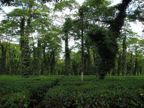 Very flat tea plantation with trees whose trunks are covered by dense vines