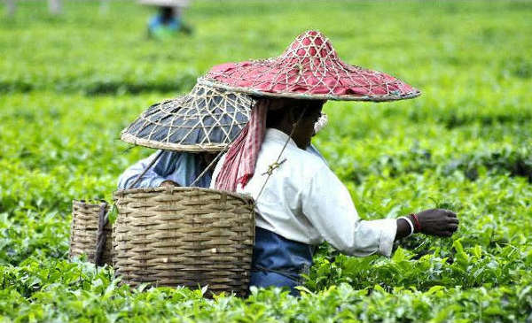 Tea pickers in a field of tea with very wide hats, red and blue, and baskets on their backs