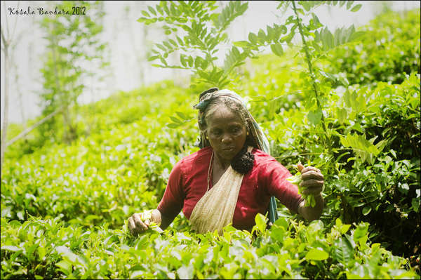 Woman picking tea in a tea field on a gentle slope