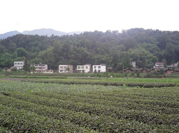 Rows of tea in a flat field, buildings in distance with forested hillside behind them