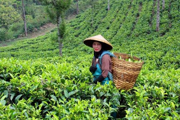 A woman in an upward-sloping tea field with a basket on her back, full of tea leaves