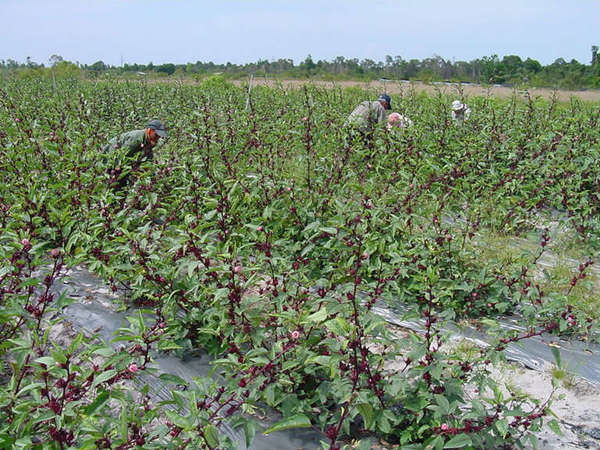 People harvesting flowers in a field full of hibiscus plants with dark purple flowers