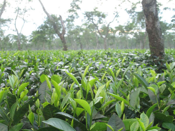 Lush, flat, green field of tea with large leaves, with scattered trees in distance