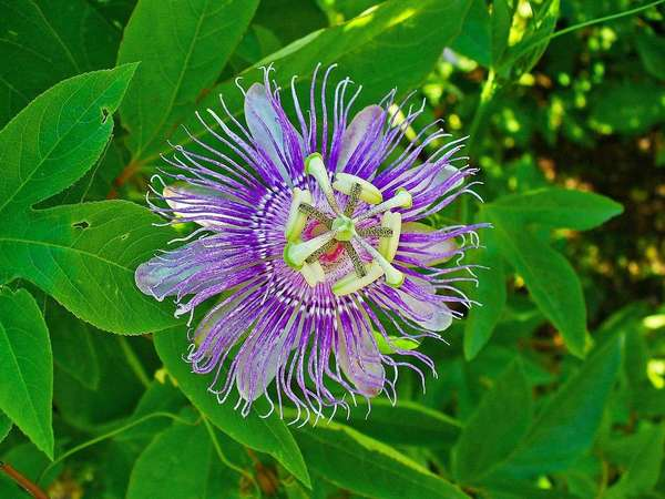 Striking purple flower with complex pattern, rounded white petals behind bright purple fringes, complex patterns in center, with green three-lobed leaves in the background