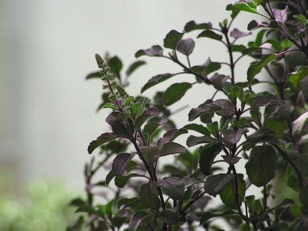 Small purple-green oval-shaped leaves arranged oppositely along stems of a plant, blurred pale background