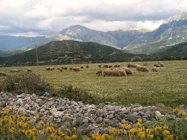 Sheep in a flat pasture, some yellow flowers and rocks in foreground, mountains in background, covered with dense clouds
