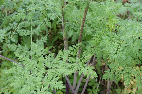 Poison hemlock with fernlike, pale blue-green leaves and leaves covered in dark purple spots, solid purple at the base