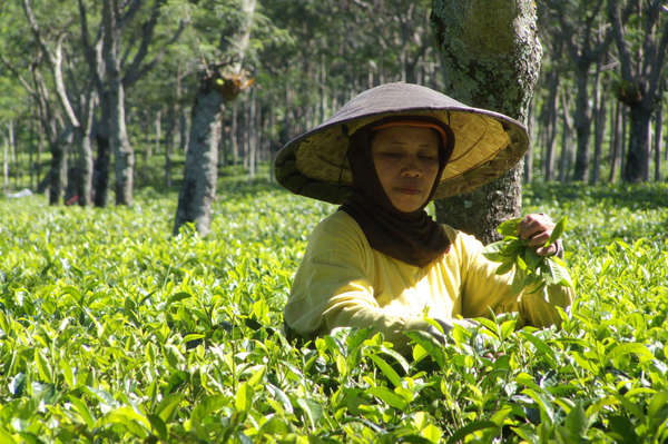 Woman picking tea in a flat tea field, with thick-trunked trees in background