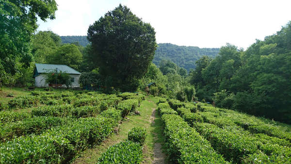 Low rows of tea bushes with wide rows between them, on a gently sloping hill, a building and forests in the background