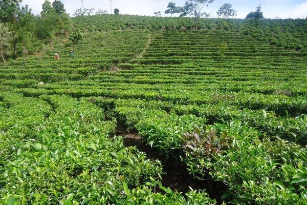 Tea plantation with rows of flat-topped bushes, showing picking table pruning method