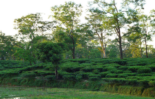 Terraces of tea plants in background rising up a gentle hill, trees behind that, flat grass in foreground