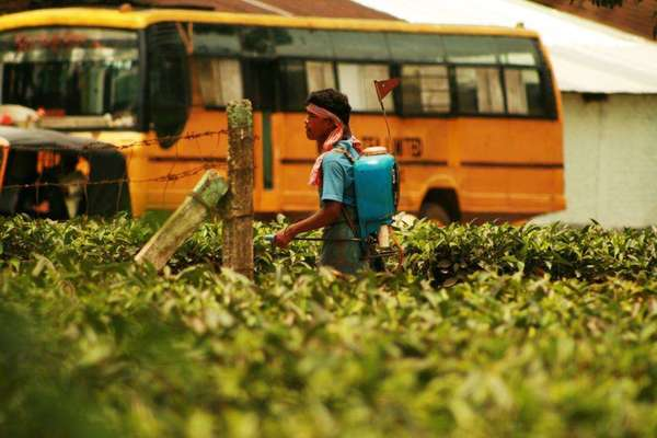 Young man spraying pesticides on tea plants, yellow bus in the background